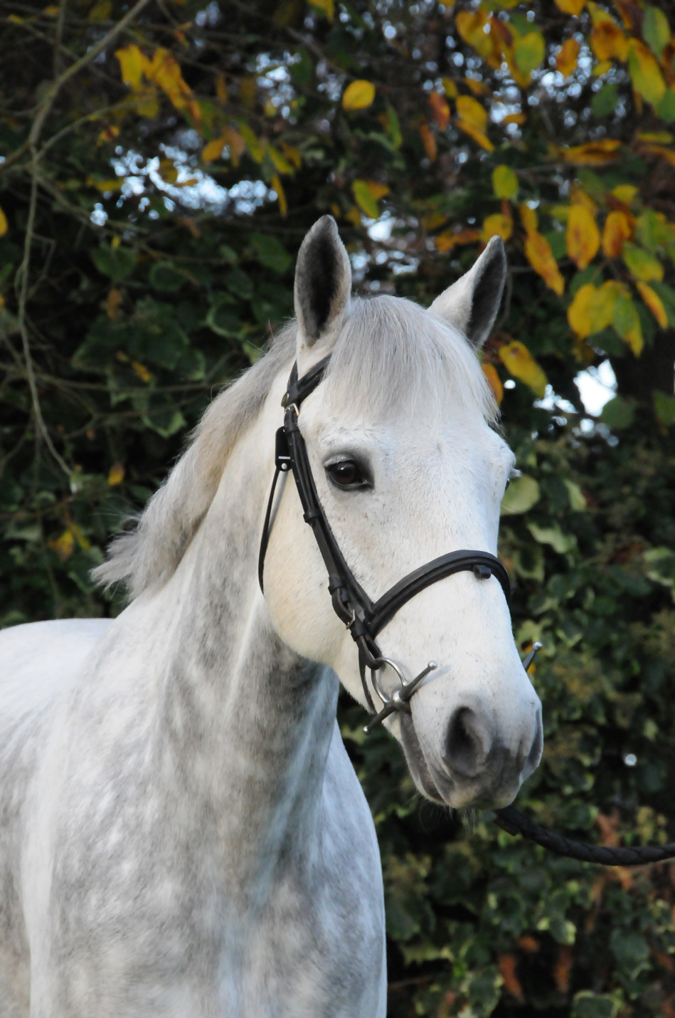 Photo modèle Bruckless top poney de CSO à vendre près de Rennes